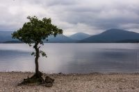 Loch Lomond Tree
