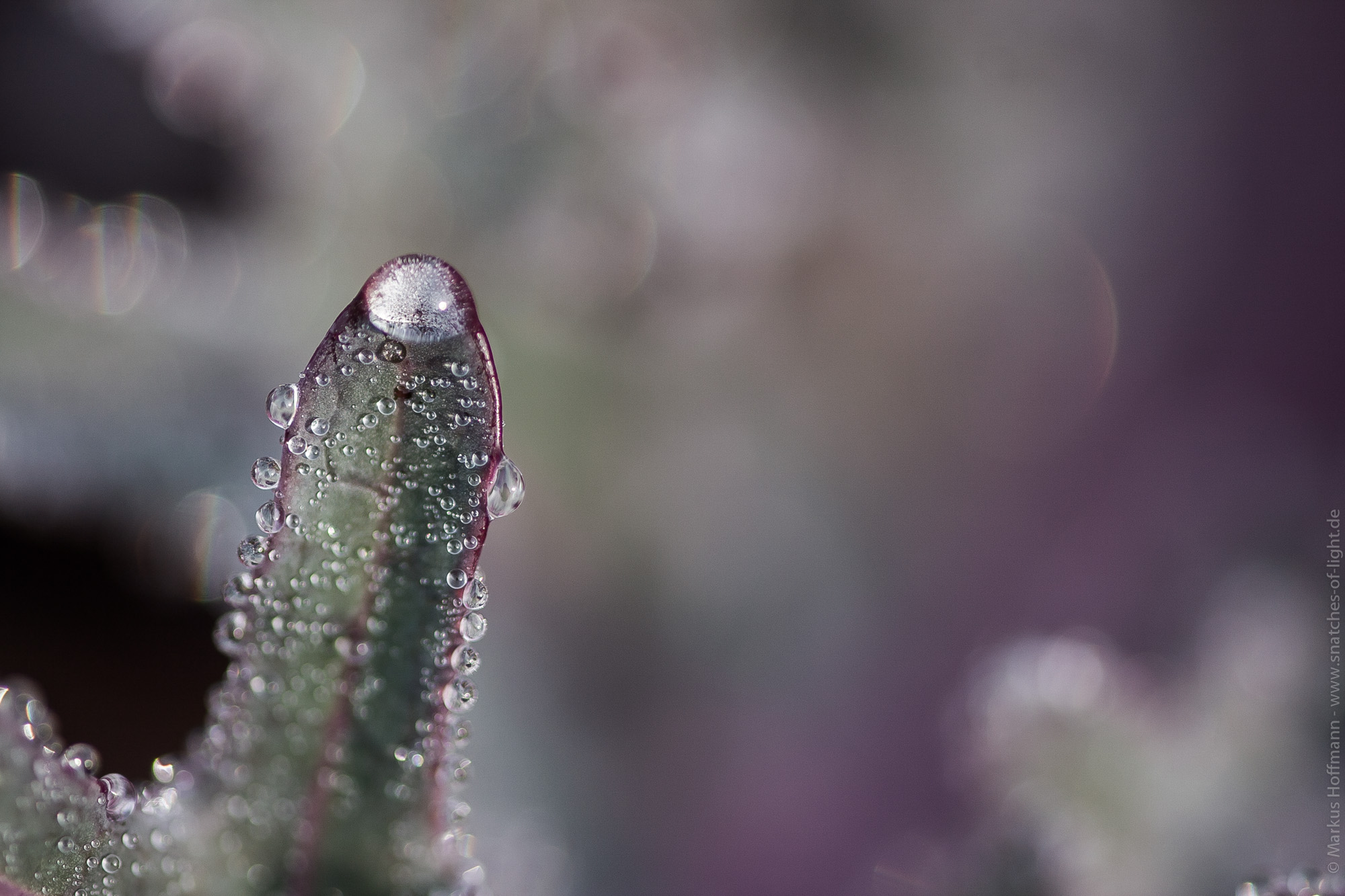 pearls of drops