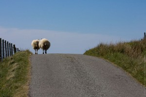 Way Of Sheep
